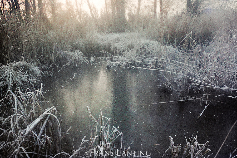 Frost covered reeds, Kralingse Bos, Rotterdam, Netherlands